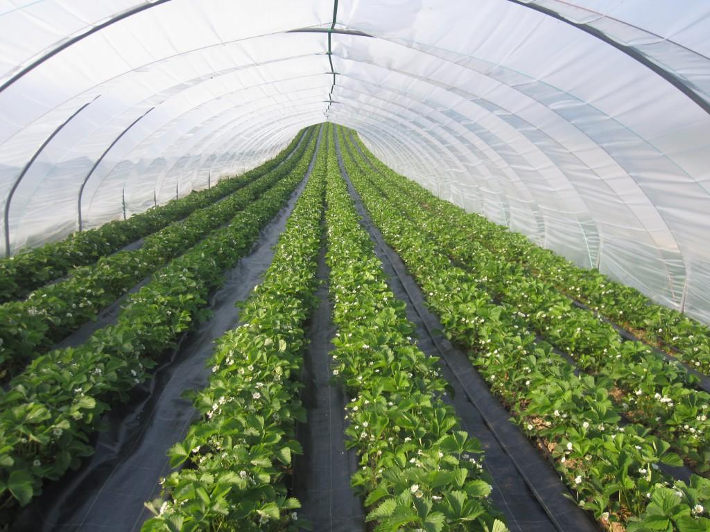 Erdbeeren im Folientunnel